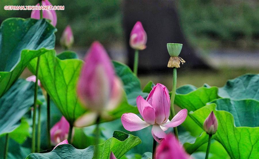 Lotusblumen im Yuanmingyuan ziehen Touristen an