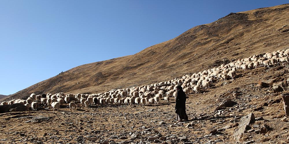 高原上的牧羊女