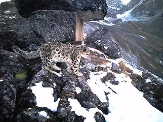 卧龙保护区雪豹频现身 拍摄破纪录达364次
