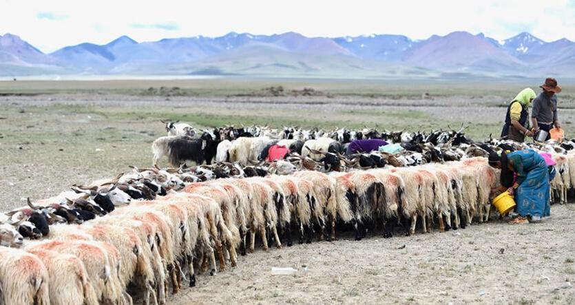 藏北母羊排队挤奶