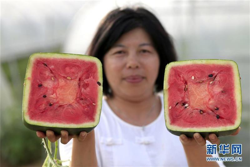Xuyis viereckige Wassermelonen: Quadratisch, praktisch, biologisch