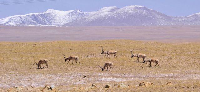 Hoh Xil in Qinghai ist das Welterbe geworden