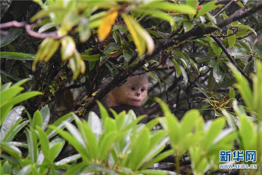 Snub-Nosed Monkeys in Shangri-La