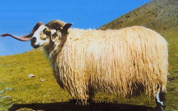 Tibetische Schafe