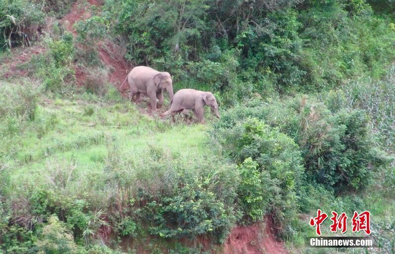 13 wilde Elefanten in Yunnaner Dorf eingedrungen