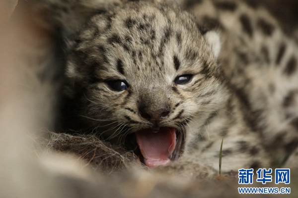 Snow leopard cubs seen in scrub forests