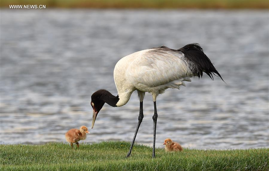 Environment of reserve improved for black-necked cranes in Tibet