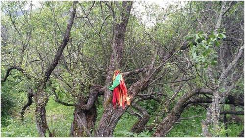 """""""放生树""""的传说"""