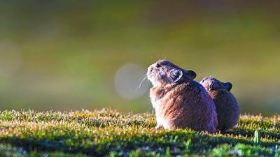高原上的生机——三江源野生动物影像纪实