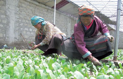 Stronger economy provides Tibetan villagers with fresh produce