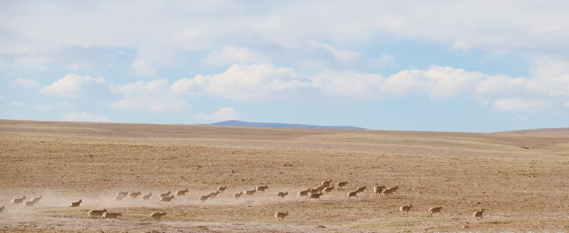 [走进可可西里]藏羚羊的守护者