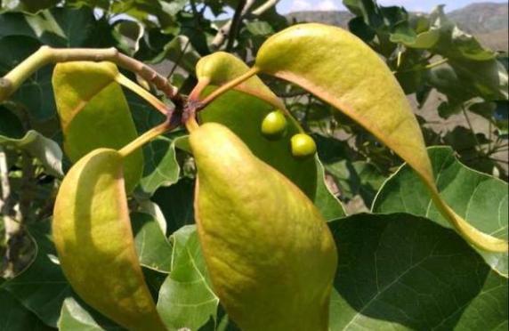 """Bedrohte Pflanze """"Yunnan-Indus"""" taucht wieder auf"""