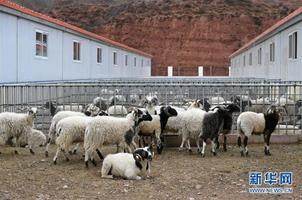贡觉县依托阿旺绵羊产业促群众增收