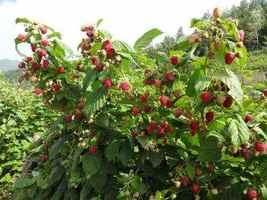 树莓果甜助增收