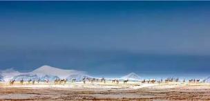 藏羚羊究竟是怎样迁徙的?