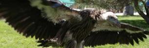 Erster künstlich aufgezogene Himalaya-Geier überlebt