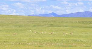 不愿迁徙的藏羚羊
