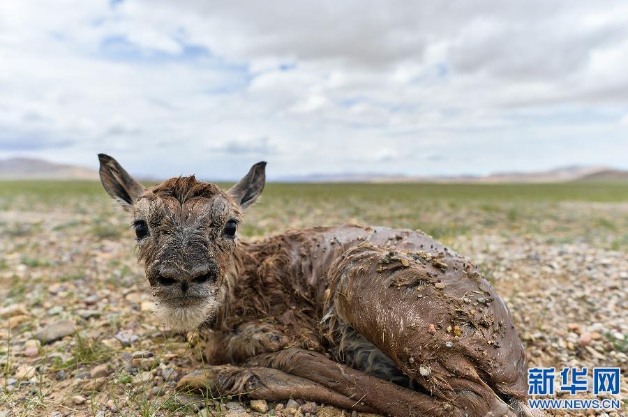 """""""Süßer Kummer"""" des Hochplateaus Qinghai-Tibet"""