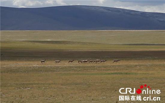 西藏安多县牧民守护藏羚羊20载