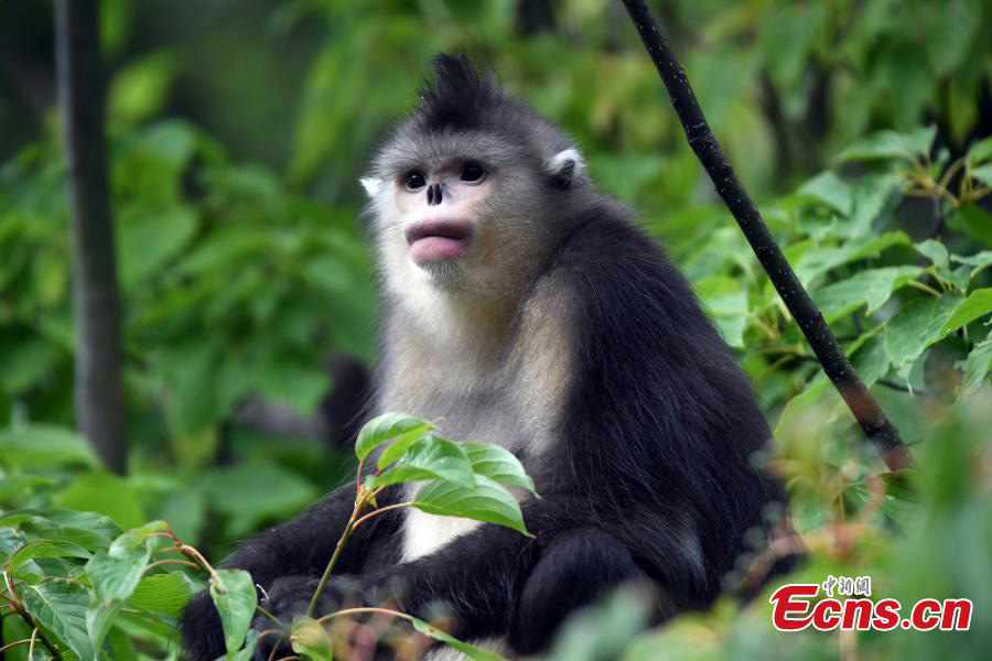 The Yunnan snub-nosed monkey numbers continuing to increase