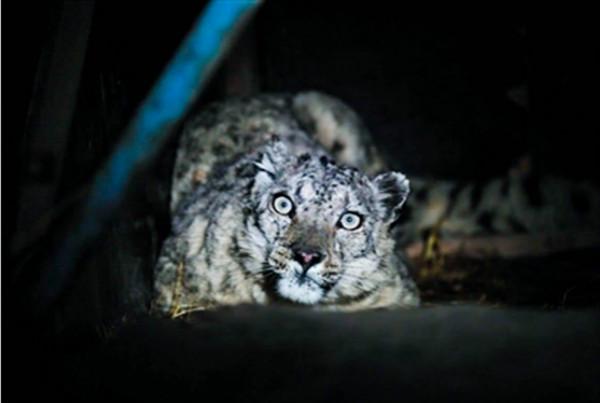 探秘三江源丨澜沧江园区:我想和雪豹有个约会