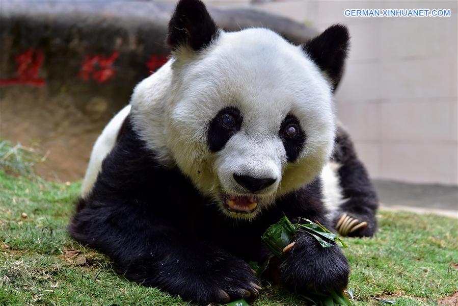 Riesenpanda Basi starb im Alter von 37