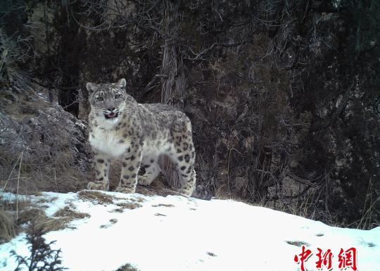 China encouraged by snow leopard's improved conservation status