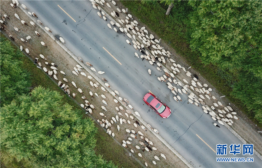 Aerial view of migrating cattle and sheep in Qinghai
