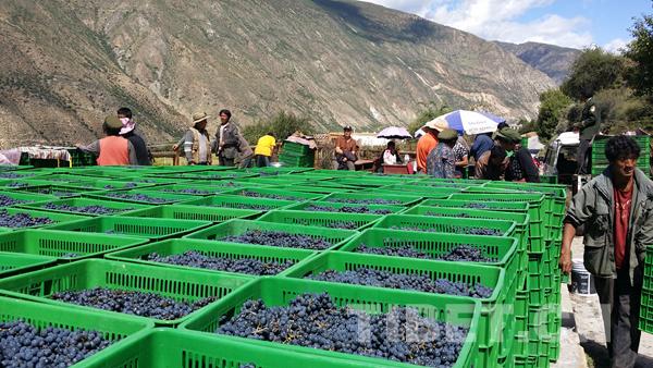 【绣花功夫】巴吾村的葡萄熟了