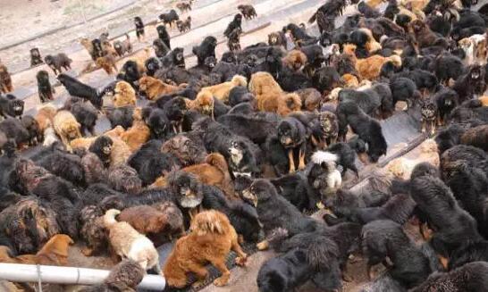 Hunderte streunende Tibet-Doggen werden zum Problem