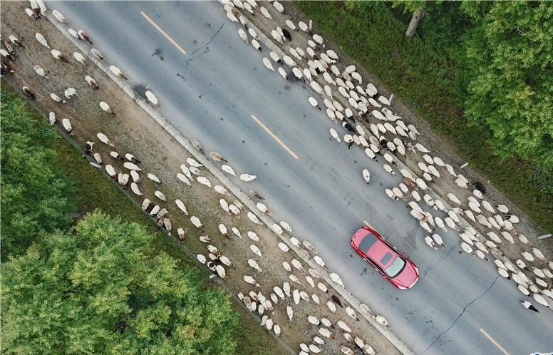Rinder und Schafe in Qinghai werden für Winter umgesiedelt