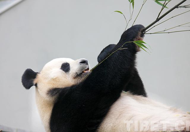 """神树坪基地游人与""""功夫熊猫""""亲密接触"""