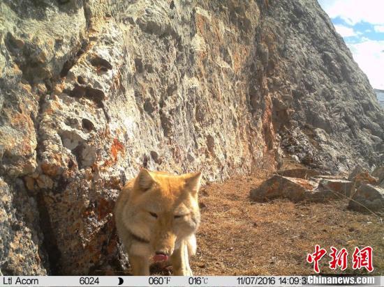 Camera captures Tibetan fox's 'smile'
