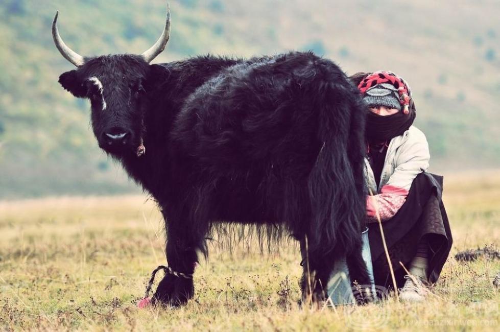 Juwa, ein Muss für die Hochlands-Tibeter