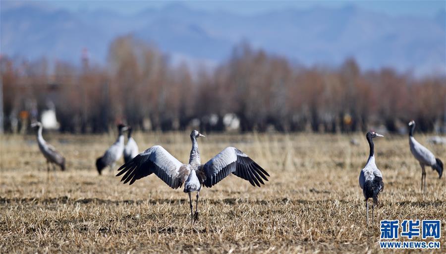 Black-necked cranes seen near Nyangqu River in SW China's Tibet