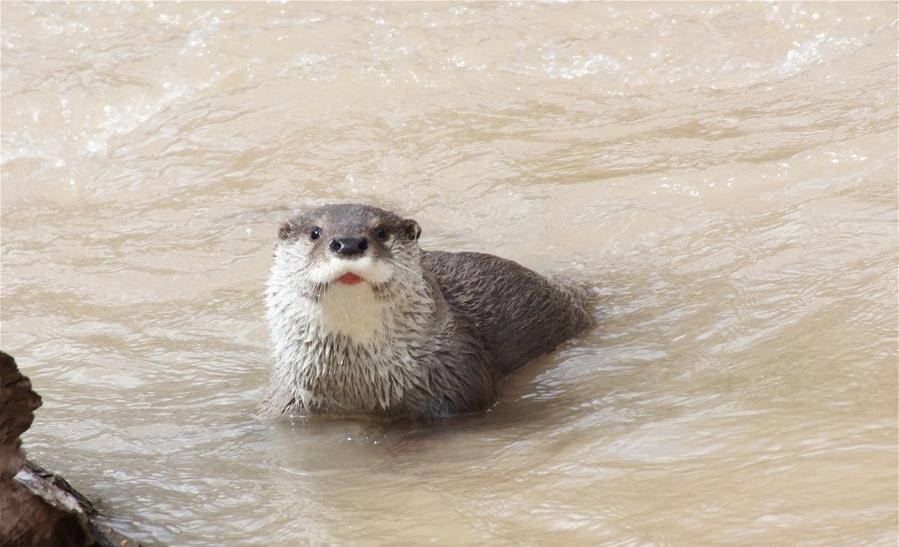 Otters reflect ecological progress of Yangtze headwater