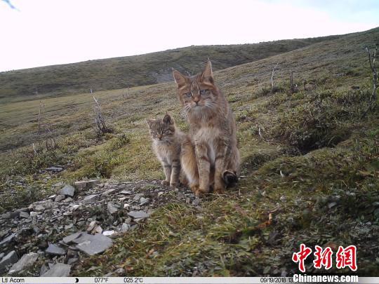 """发现野生""""喵星人"""":三江源地区首次记录到荒漠猫育幼行为"""