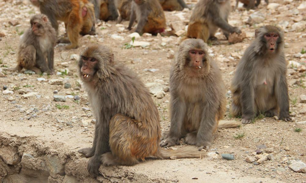 实拍|川藏线317国道上偶遇藏猕猴,该不该喂食?