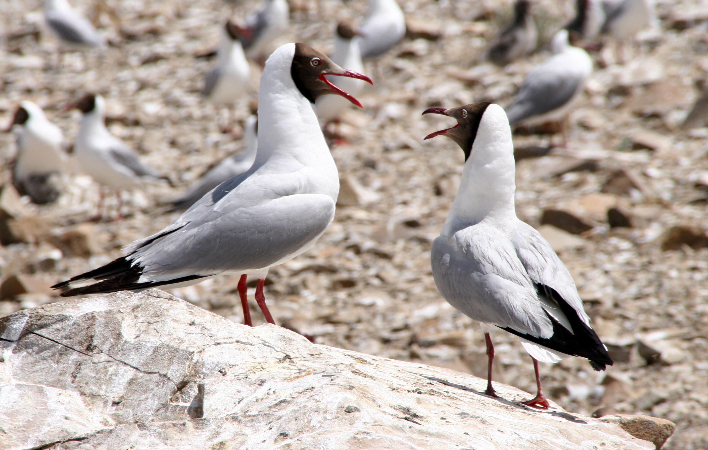 班公湖鸟岛