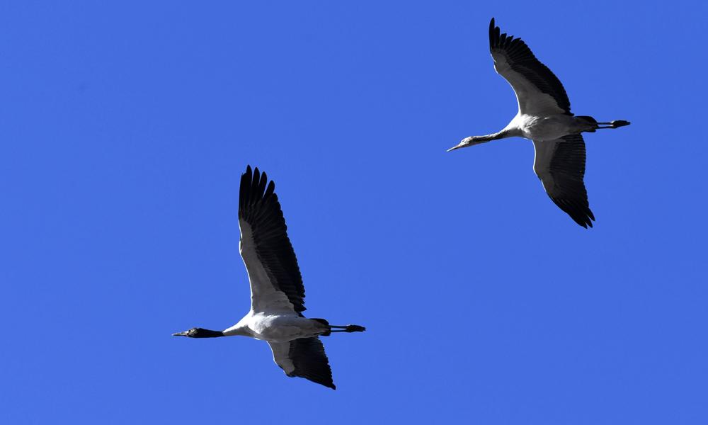 在西藏网,邂逅高原精灵黑颈鹤