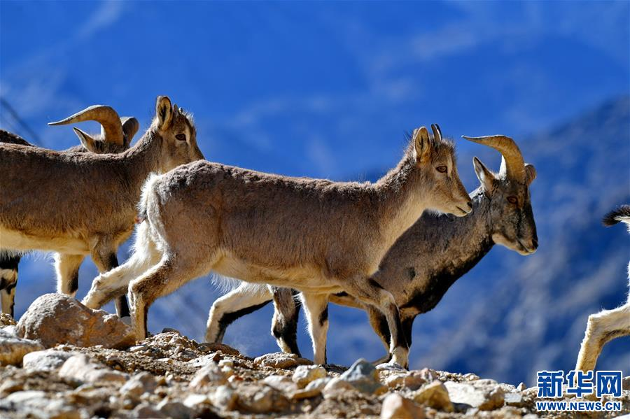 Schutzzone des Qomolangma: Paradies wilder Tiere