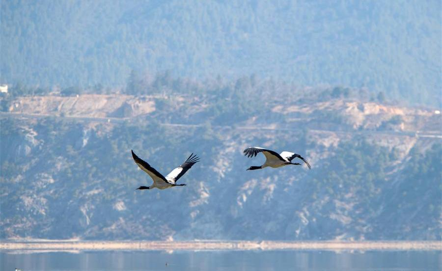 Blacknecked cranes attracted to Napahai Nature Reserve in SW China's Yunnan