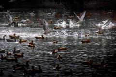 拉萨:候鸟飞舞春意浓