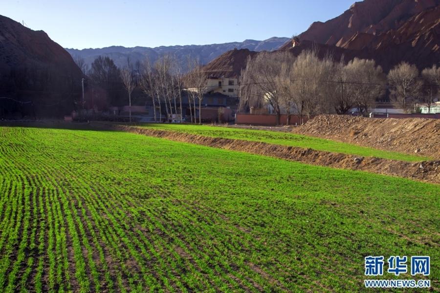 Qinghai: Winterweizen in Guide erreicht Phase des Setzlingswachstums