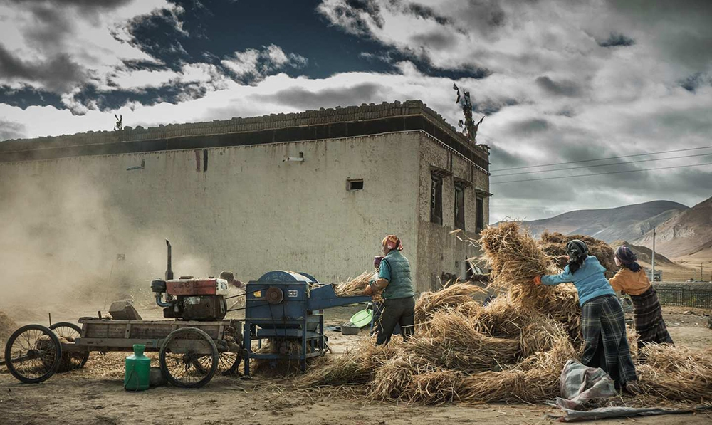 Tibet's highland barley annual production exceeds 700,000 tons for third consecutive year