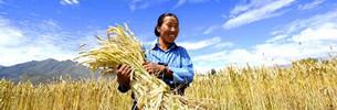 Einkommen tibetischer Bauern übersteigt 10.000 Yuan