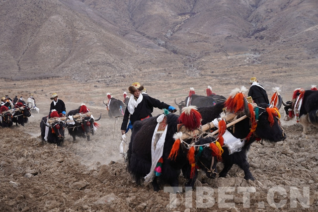 Spring ploughing ceremony celebrated in Tibet