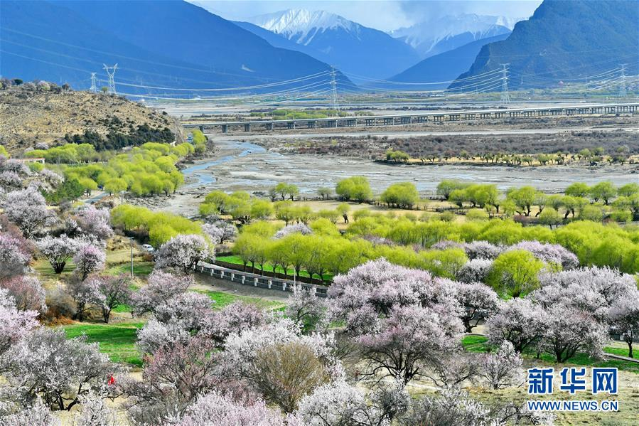 Peach blossoms in Nyingchi, Tibet