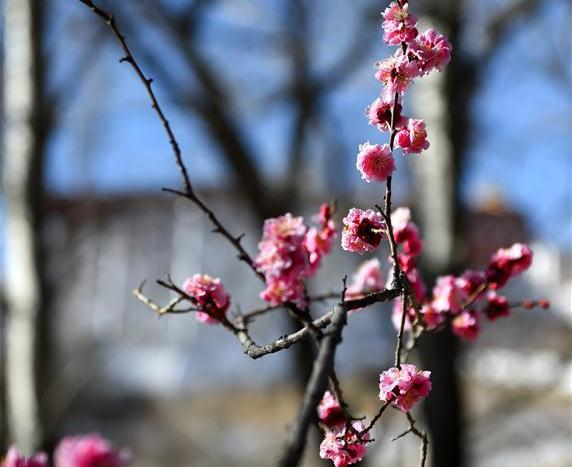 Early spring scenery in Lhasa, SW China's Tibet