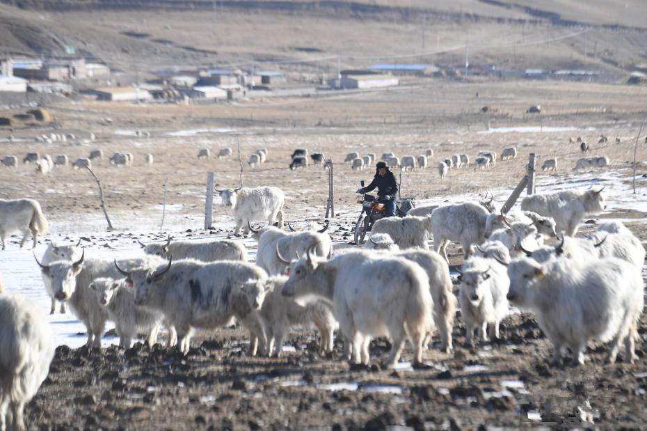 """""""Veränderung der weißen Yaks"""" im tibetischen Gebiet Huarui"""